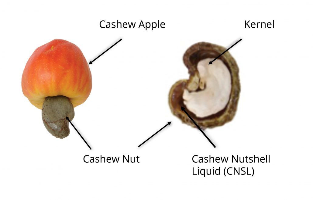 Cashew nut and shell diagram